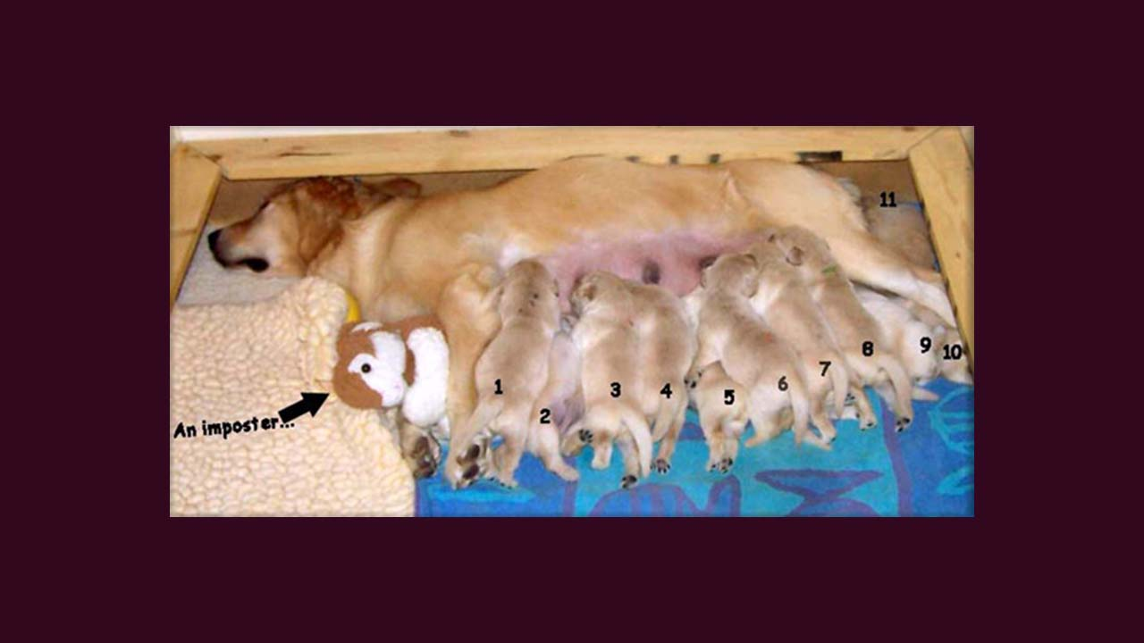 golden retriever litters